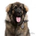Hundetegn, Leonberger