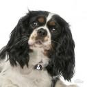 Hundetegn, Cavalier King Charles, Flere farver.
