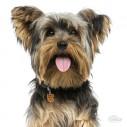 Hundetegn Yorkshire Terrier