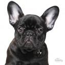 Hundetegn, French Bulldog, Flere farver.